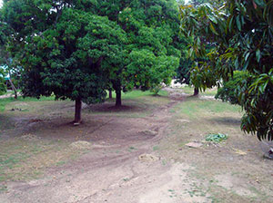 Haitian-Trees